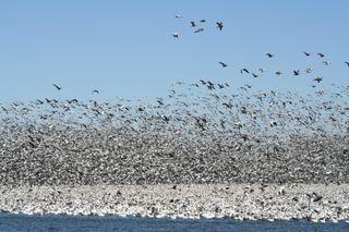 Geese startling 5