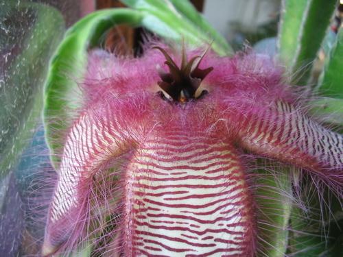 Cactusflowercu