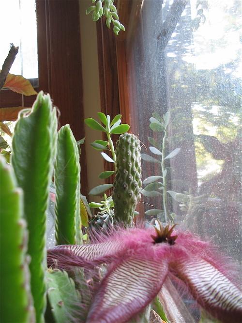 Cactusflowerwindow