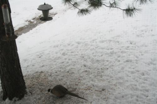 Pheasant_feeder_1