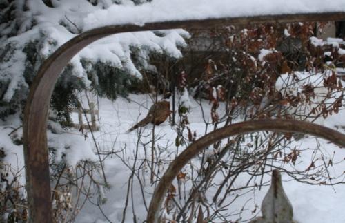 Pheasant_neighbor